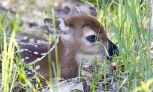 fawn in lawn