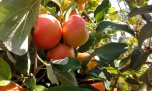 apples near leaves