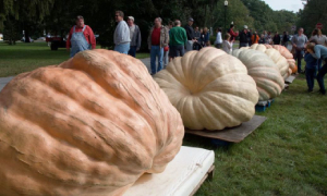 big pumpkins on display