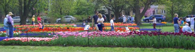 people near tulip beds