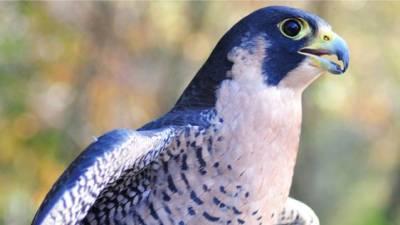 blue falcon (peregrine falcon)