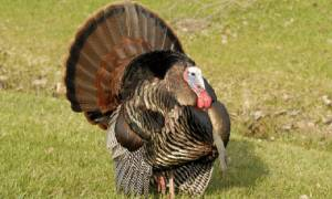 wild turkey in grass