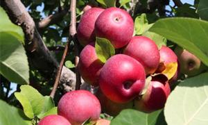 cluster of apples on an apple tree