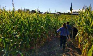 people exploring a corn maze
